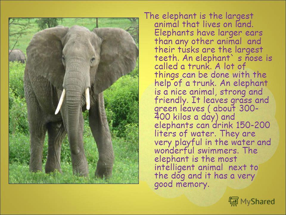The elephant is the largest animal that lives on land. Elephants have larger ears than any other animal and their tusks are the largest teeth. An elephant` s nose is called a trunk. A lot of things can be done with the help of a trunk. An elephant is
