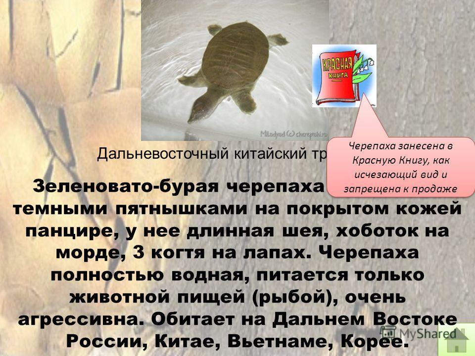 Дальневосточный китайский трионикс Зеленовато-бурая черепаха с мелкими темными пятнышками на покрытом кожей панцире, у нее длинная шея, хоботок на морде, 3 когтя на лапах. Черепаха полностью водная, питается только животной пищей (рыбой), очень агрес