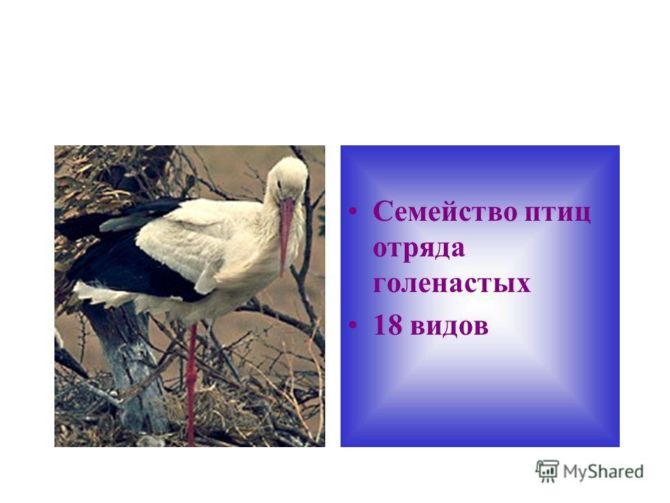 Семейство птиц отряда голенастых 18 видов