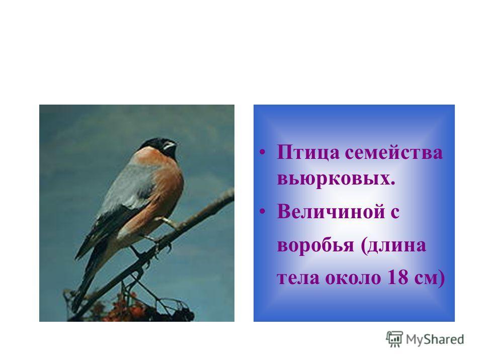 Птица семейства вьюрковых. Величиной с воробья (длина тела около 18 см)
