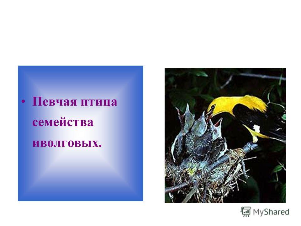 Певчая птица семейства иволговых.