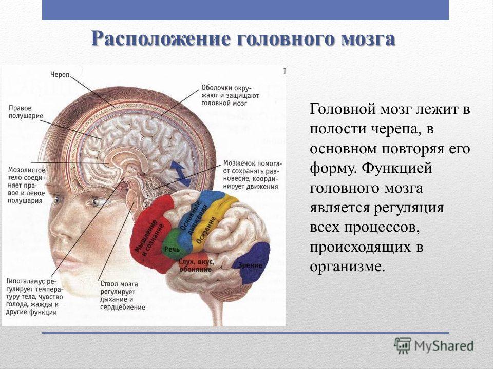 Расположение головного мозга Головной мозг лежит в полости черепа, в основном повторяя его форму. Функцией головного мозга является регуляция всех процессов, происходящих в организме.