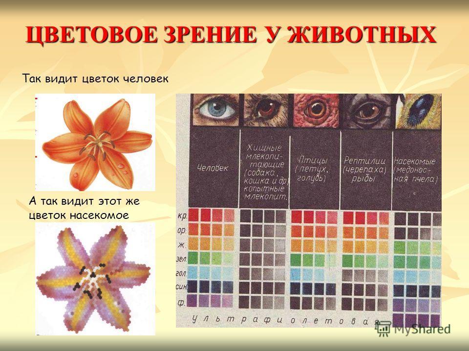 Так видит цветок человек А так видит этот же цветок насекомое ЦВЕТОВОЕ ЗРЕНИЕ У ЖИВОТНЫХ