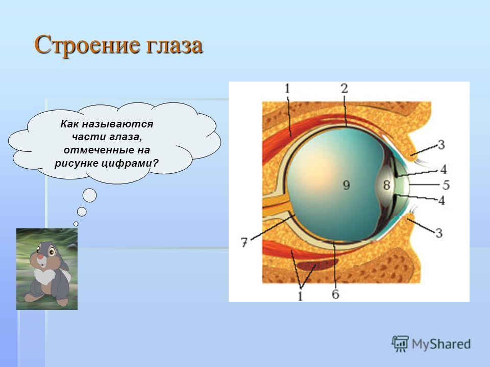 Как называются части глаза, отмеченные на рисунке цифрами? Строение глаза
