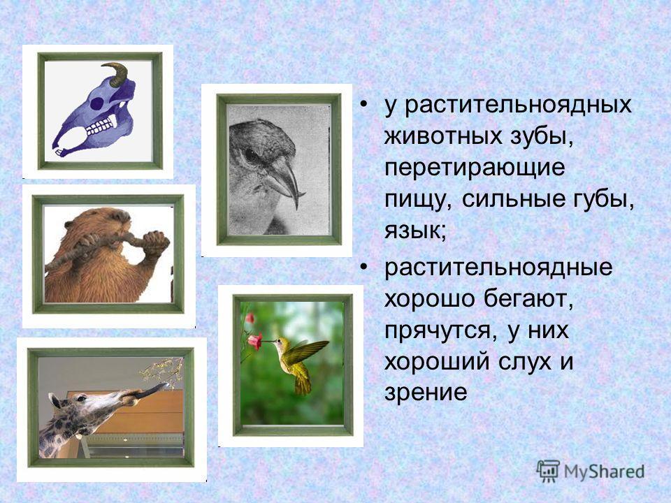 у растительноядных животных зубы, перетирающие пищу, сильные губы, язык; растительноядные хорошо бегают, прячутся, у них хороший слух и зрение
