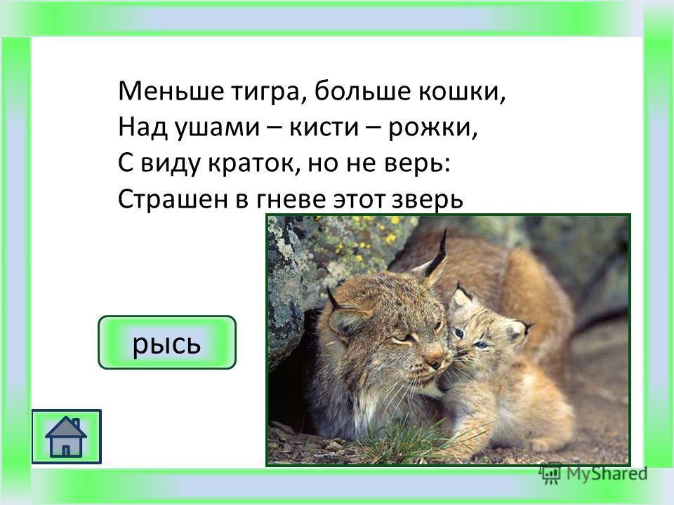 Меньше тигра, больше кошки, Над ушами – кисти – рожки, С виду краток, но не верь: Страшен в гневе этот зверь рысь