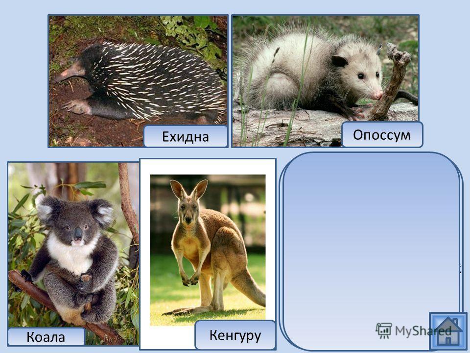 Ехидна относится к самым примитивным млекопитающим, которые откладывают яйца. Остальные представители относятся к отряду сумчатых. Ехидна Опоссум Коала Кенгуру