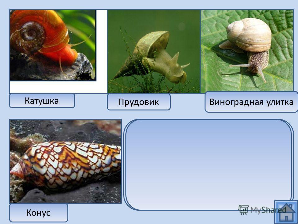 Катушка Прудовик Виноградная улитка Конус Все эти представители относятся к классу брюхоногих, но только виноградная улитка живет в наземно-воздушной среде, а остальные особи в водной среде обитания
