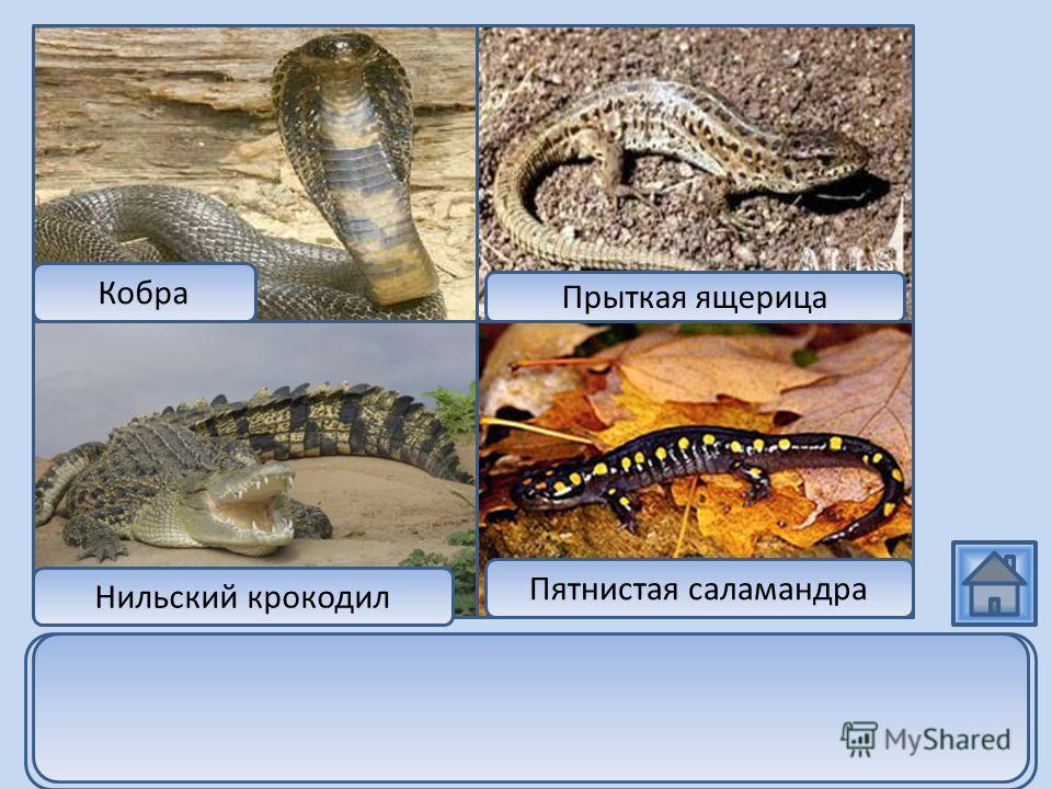 Кобра Нильский крокодил Прыткая ящерица Пятнистая саламандра Пятнистая саламандра является представителем класса земноводных, а кобра, крокодил и ящерица относятся к классу пресмыкающихся