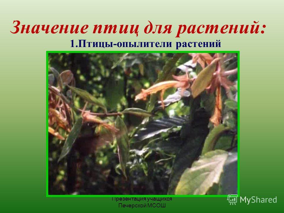 Презентация учащихся Печерской МСОШ Значение птиц для растений: 1.Птицы-опылители растений