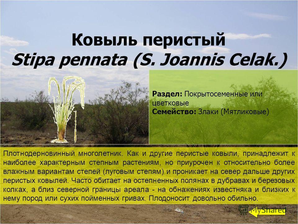 Ковыль перистый Stipa pennata (S. Joannis Celak.) Раздел: Покрытосеменные или цветковые Семейство: Злаки (Мятликовые) Плотнодерновинный многолетник. Как и другие перистые ковыли, принадлежит к наиболее характерным степным растениям, но приурочен к от