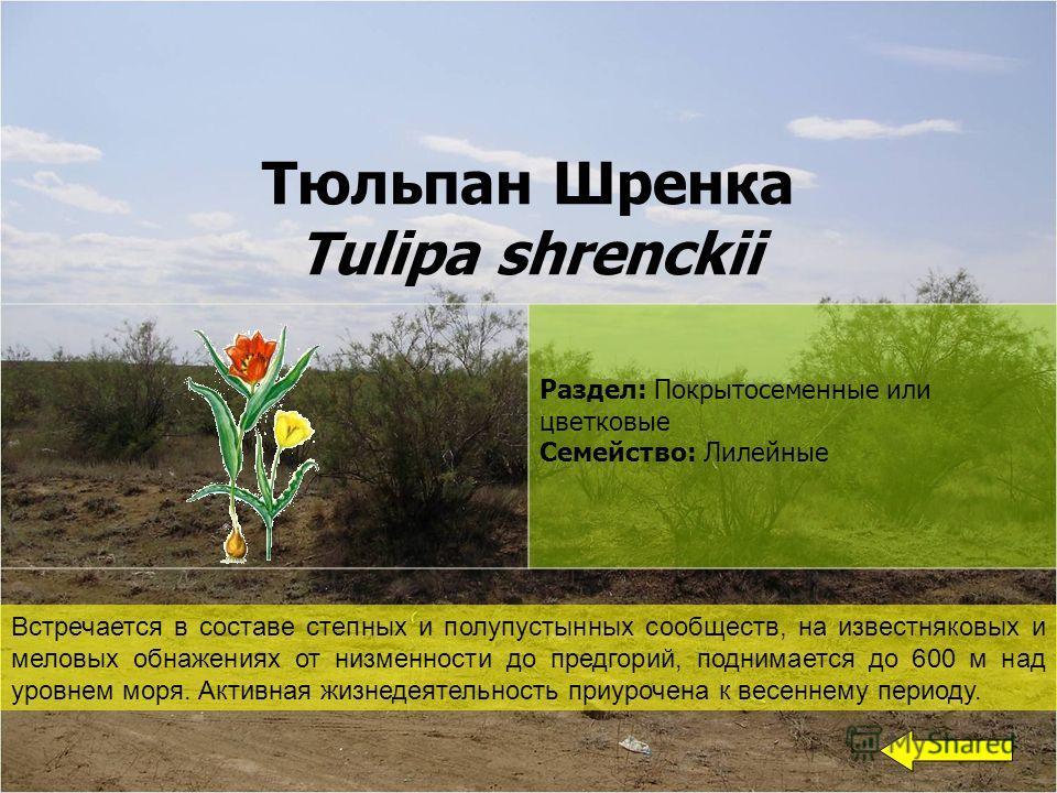 Тюльпан Шренка Tulipa shrenckii Раздел: Покрытосеменные или цветковые Семейство: Лилейные Встречается в составе степных и полупустынных сообществ, на известняковых и меловых обнажениях от низменности до предгорий, поднимается до 600 м над уровнем мор