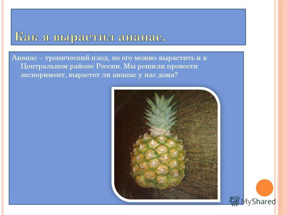 Ананас – тропический плод, но его можно вырастить и в Центральном районе России. Мы решили провести эксперимент, вырастет ли ананас у нас дома?