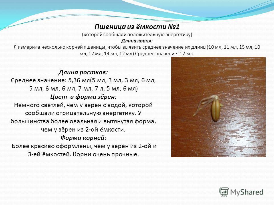 Пшеница из ёмкости 1 (которой сообщали положительную энергетику) Длина корня: Я измерила несколько корней пшеницы, чтобы выявить среднее значение их длины(10 мл, 11 мл, 15 мл, 10 мл, 12 мл, 14 мл, 12 мл) Среднее значение: 12 мл. Длина ростков: Средне