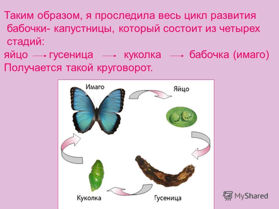Таким образом, я проследила весь цикл развития бабочки- капустницы, который состоит из четырех стадий: яйцо гусеница куколка бабочка (имаго) Получается такой круговорот.