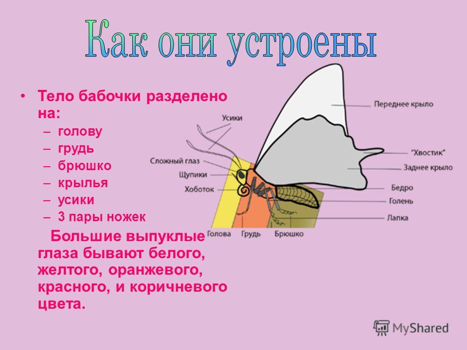 Тело бабочки разделено на: –голову –грудь –брюшко –крылья –усики –3 пары ножек Большие выпуклые глаза бывают белого, желтого, оранжевого, красного, и коричневого цвета.