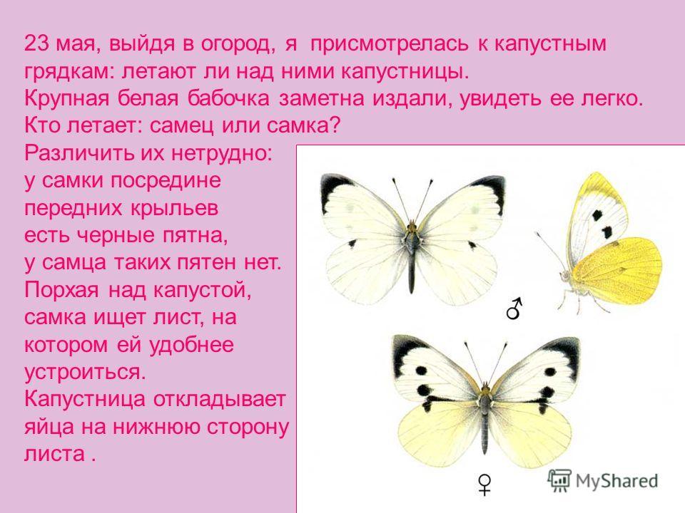 23 мая, выйдя в огород, я присмотрелась к капустным грядкам: летают ли над ними капустницы. Крупная белая бабочка заметна издали, увидеть ее легко. Кто летает: самец или самка? Различить их нетрудно: у самки посредине передних крыльев есть черные пят