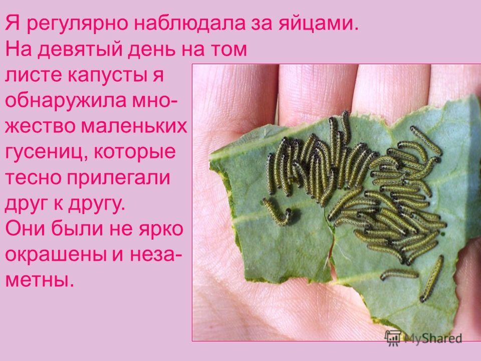 Я регулярно наблюдала за яйцами. На девятый день на том листе капусты я обнаружила мно- жество маленьких гусениц, которые тесно прилегали друг к другу. Они были не ярко окрашены и неза- метны.