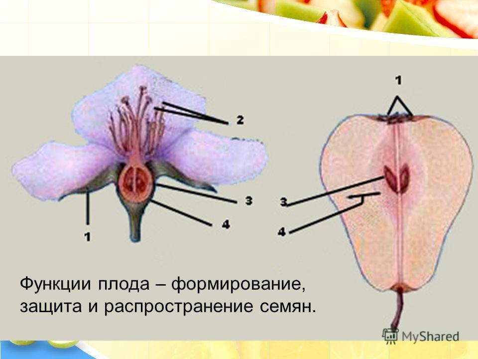 Из цветка образуется плод Функции плода – формирование, защита и распространение семян.