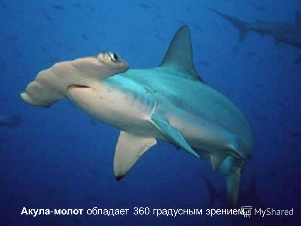 Акула-молот обладает 360 градусным зрением.