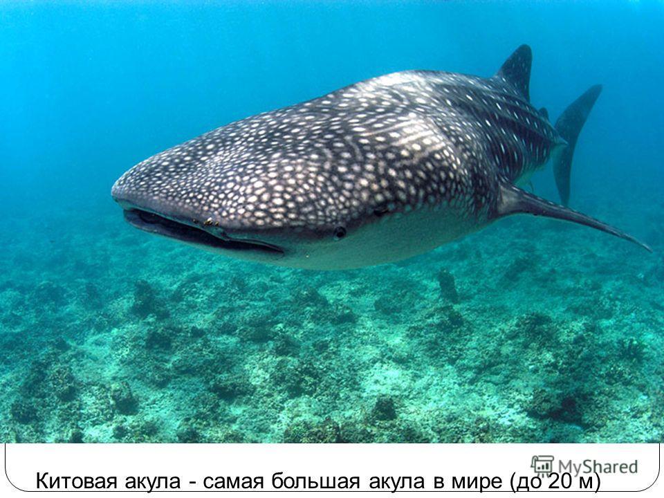 Китовая акула - самая большая акула в мире (до 20 м)