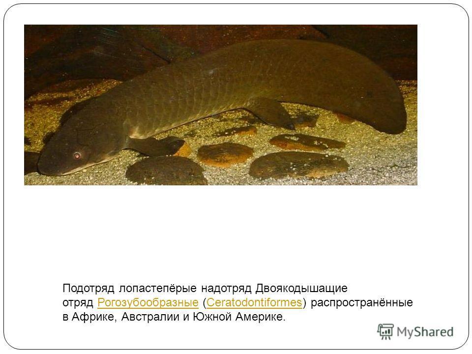 Подотряд лопастепёрые надотряд Двоякодышащие отряд Рогозубообразные (Ceratodontiformes) распространённые в Африке, Австралии и Южной Америке.РогозубообразныеCeratodontiformes