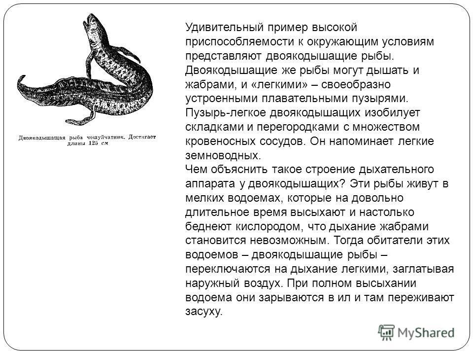 Удивительный пример высокой приспособляемости к окружающим условиям представляют двоякодышащие рыбы. Двоякодышащие же рыбы могут дышать и жабрами, и «легкими» – своеобразно устроенными плавательными пузырями. Пузырь-легкое двоякодышащих изобилует скл