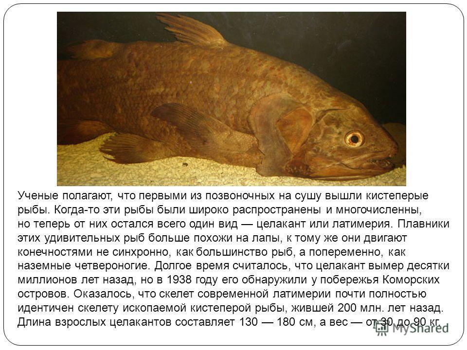Ученые полагают, что первыми из позвоночных на сушу вышли кистеперые рыбы. Когда-то эти рыбы были широко распространены и многочисленны, но теперь от них остался всего один вид целакант или латимерия. Плавники этих удивительных рыб больше похожи на л