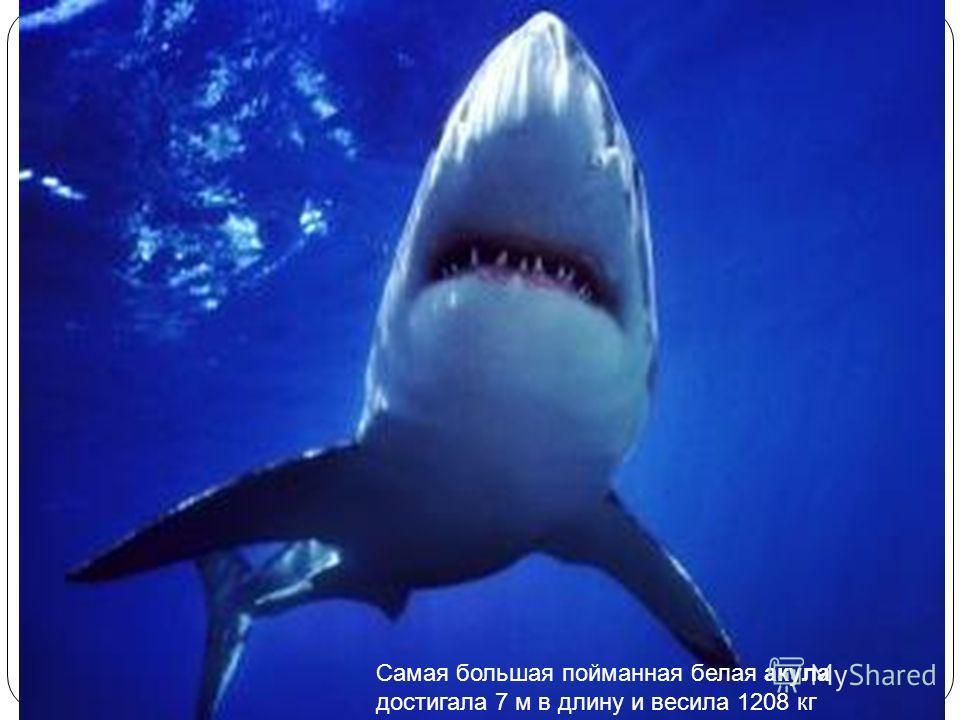 Самая большая пойманная белая акула достигала 7 м в длину и весила 1208 кг