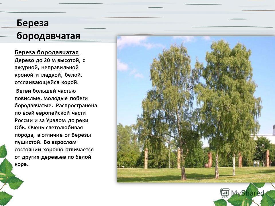 Береза бородавчатая Береза бородавчатая - Дерево до 20 м высотой, с ажурной, неправильной кроной и гладкой, белой, отслаивающейся корой. Ветви большей частью повислые, молодые побеги бородавчатые. Распространена по всей европейской части России и за