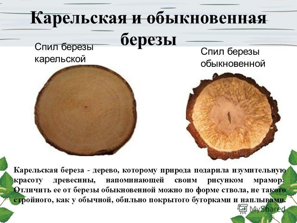 Карельская и обыкновенная березы Карельская береза - дерево, которому природа подарила изумительную красоту древесины, напоминающей своим рисунком мрамор. Отличить ее от березы обыкновенной можно по форме ствола, не такого стройного, как у обычной, о