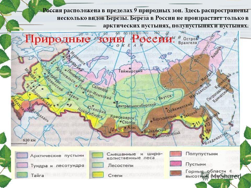 Россия расположена в пределах 9 природных зон. Здесь распространены несколько видов Березы. Береза в России не произрастает только в арктических пустынях, полупустынях и пустынях.