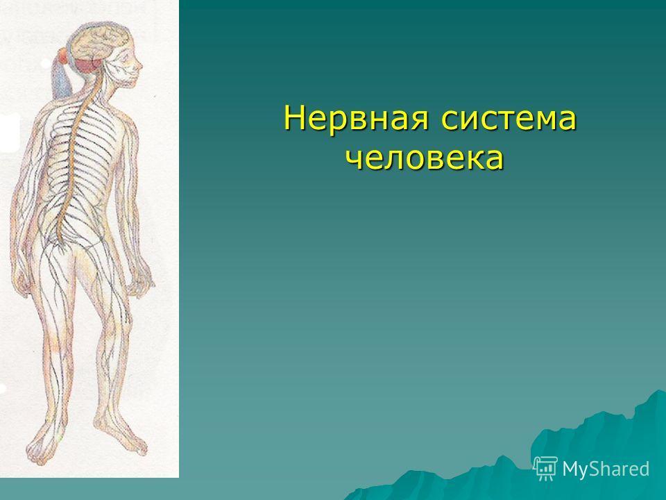 Нервная система человека Нервная система человека