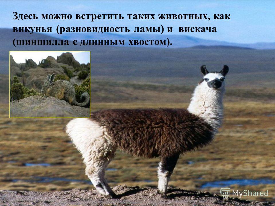 Здесь можно встретить таких животных, как викунья (разновидность ламы) и вискача (шиншилла с длинным хвостом).