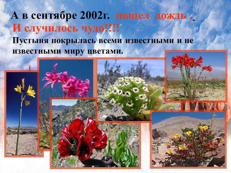 А в сентябре 2002г. пошел дождь. И случилось чудо!!!! Пустыня покрылась всеми известными и не известными миру цветами.