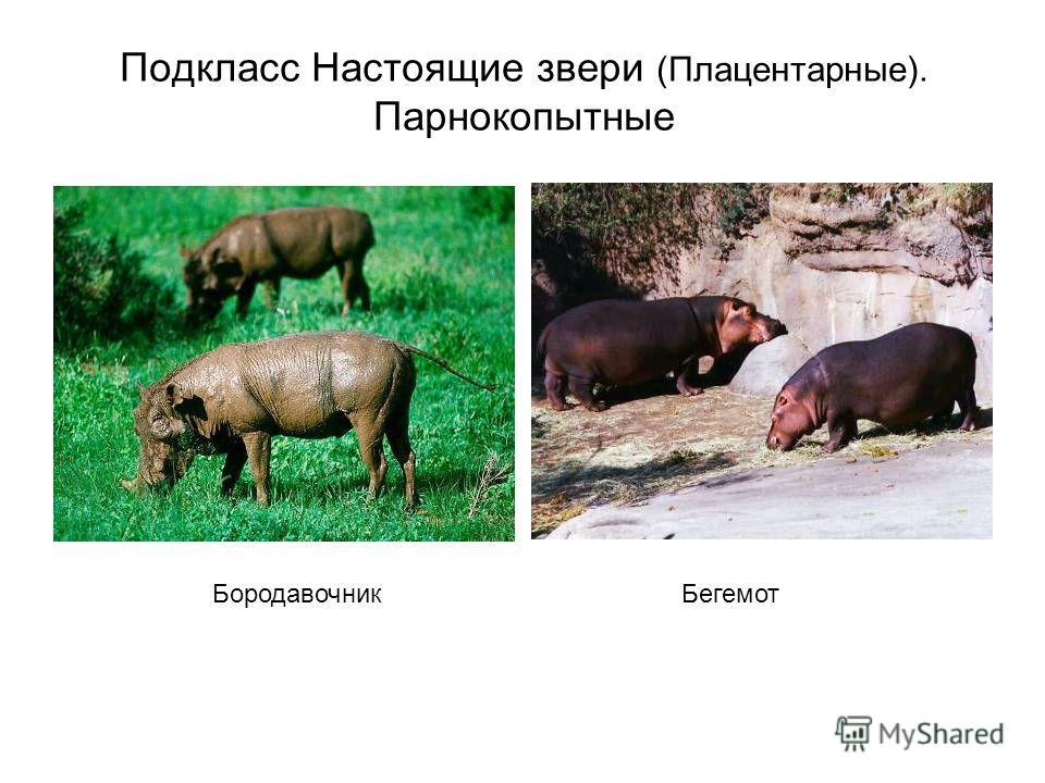 Подкласс Настоящие звери (Плацентарные). Парнокопытные БородавочникБегемот
