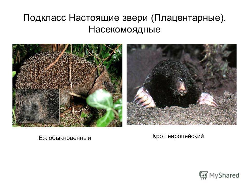 Подкласс Настоящие звери (Плацентарные). Насекомоядные Еж обыкновенный Крот европейский