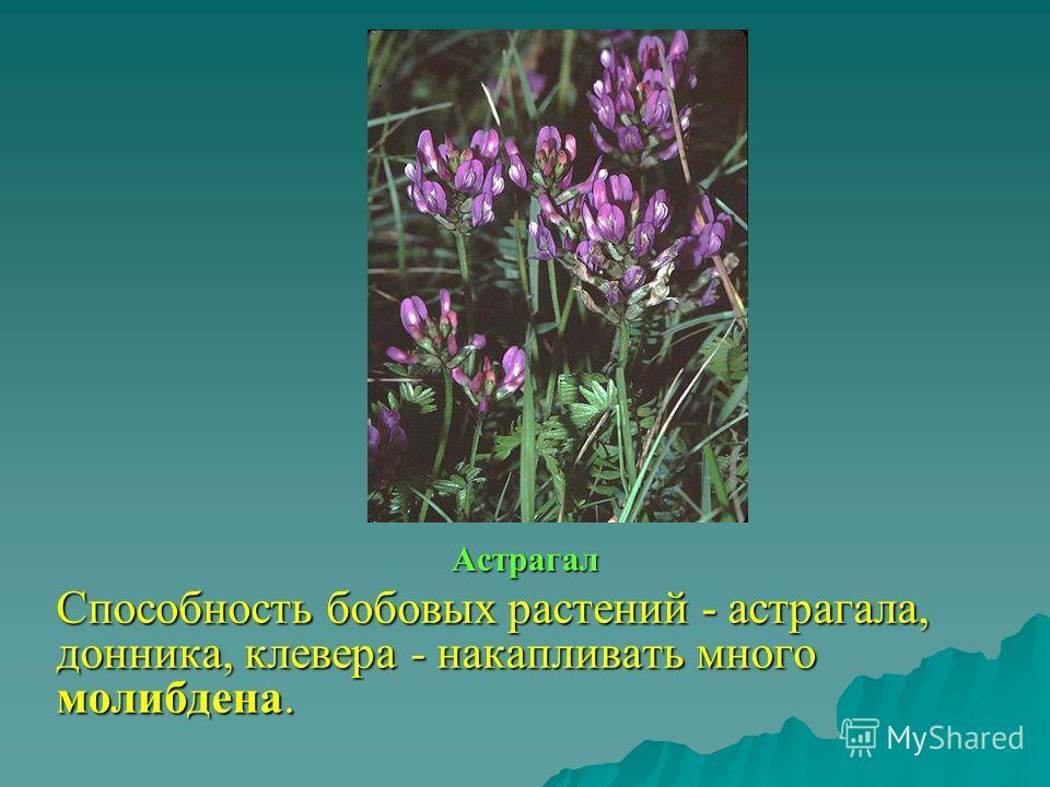 Астрагал Способность бобовых растений - астрагала, донника, клевера - накапливать много молибдена.