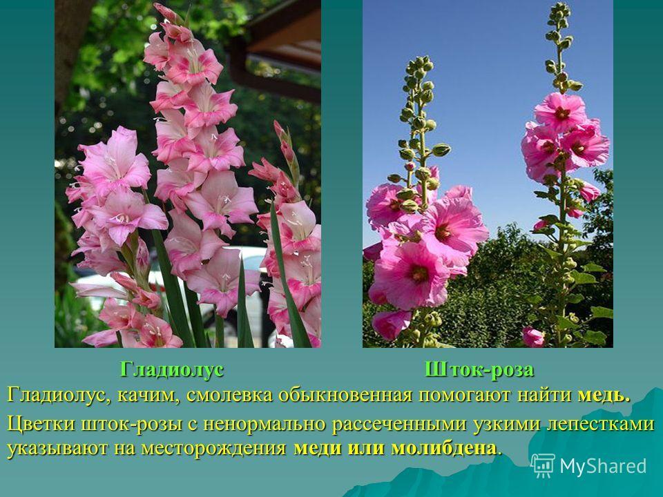 Гладиолус Шток-роза Гладиолус, качим, смолевка обыкновенная помогают найти медь. Цветки шток-розы с ненормально рассеченными узкими лепестками указывают на месторождения меди или молибдена.