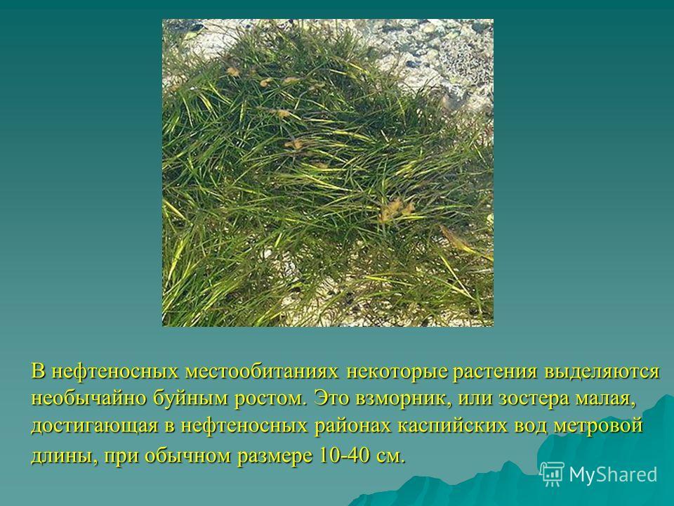 В нефтеносных местообитаниях некоторые растения выделяются необычайно буйным ростом. Это взморник, или зостера малая, достигающая в нефтеносных районах каспийских вод метровой длины, при обычном размере 10-40 см.