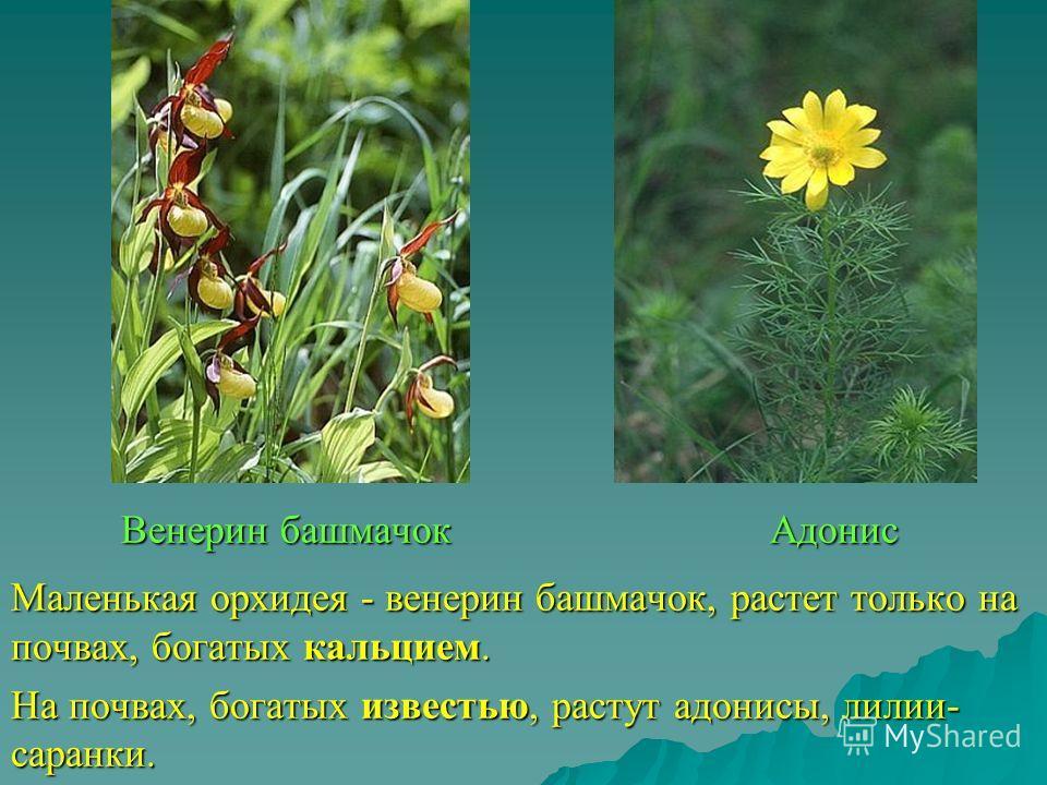 Венерин башмачок Адонис Маленькая орхидея - венерин башмачок, растет только на почвах, богатых кальцием. На почвах, богатых известью, растут адонисы, лилии- саранки.