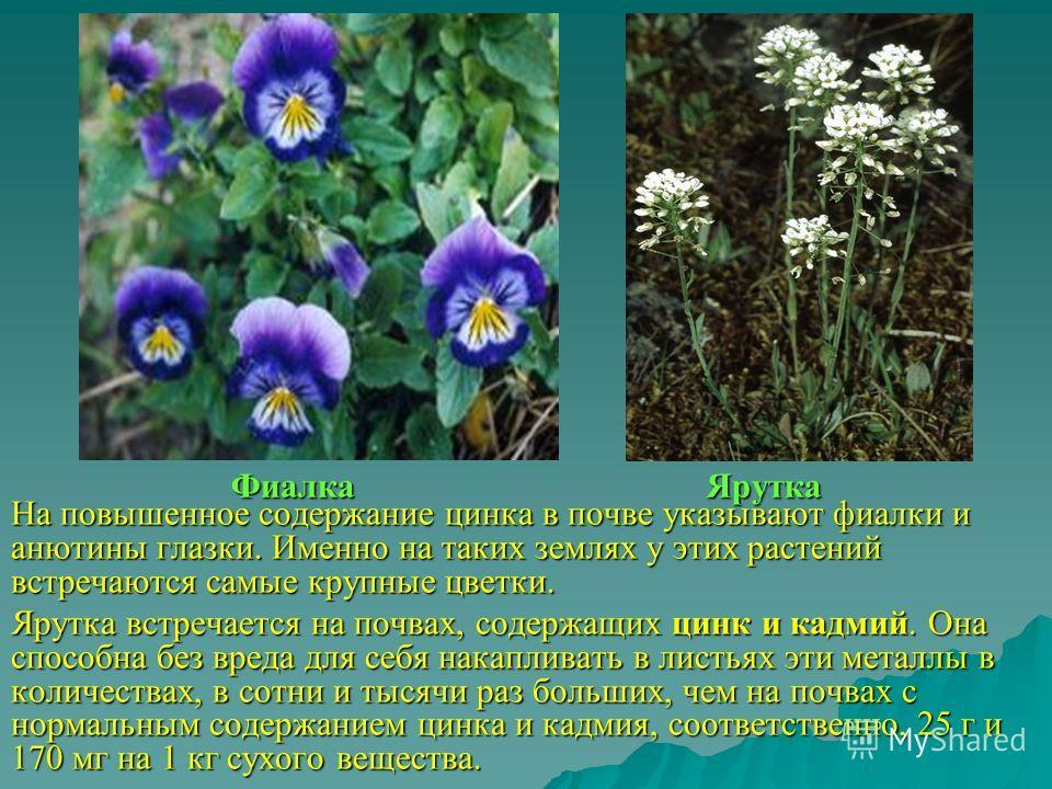 Фиалка Ярутка На повышенное содержание цинка в почве указывают фиалки и анютины глазки. Именно на таких землях у этих растений встречаются самые крупные цветки. Ярутка встречается на почвах, содержащих цинк и кадмий. Она способна без вреда для себя н