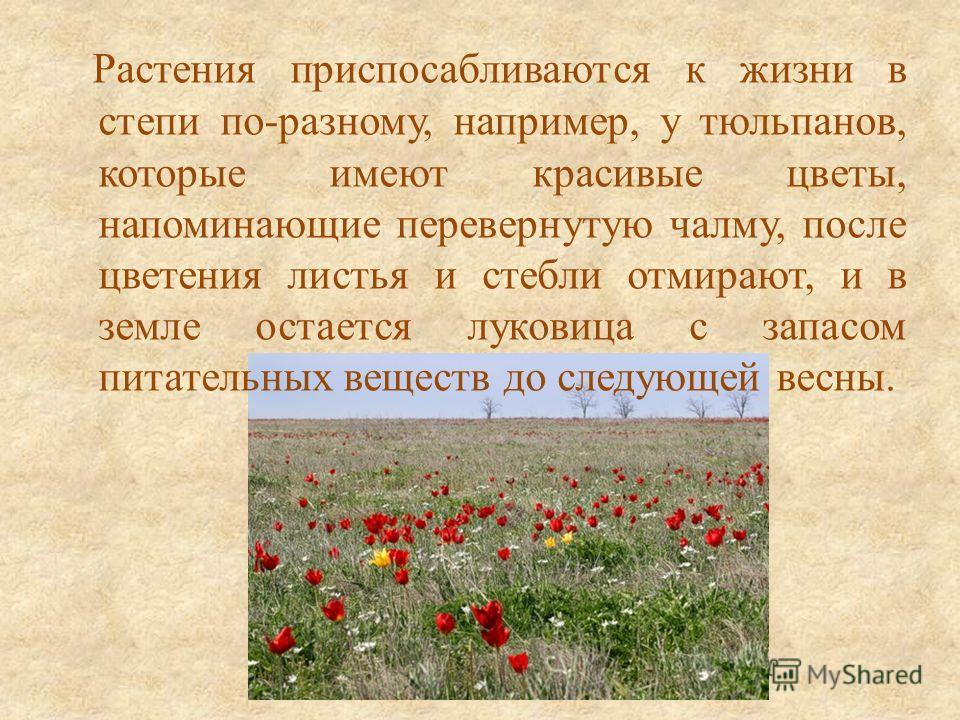 Растения приспосабливаются к жизни в степи по-разному, например, у тюльпанов, которые имеют красивые цветы, напоминающие перевернутую чалму, после цветения листья и стебли отмирают, и в земле остается луковица с запасом питательных веществ до следующ