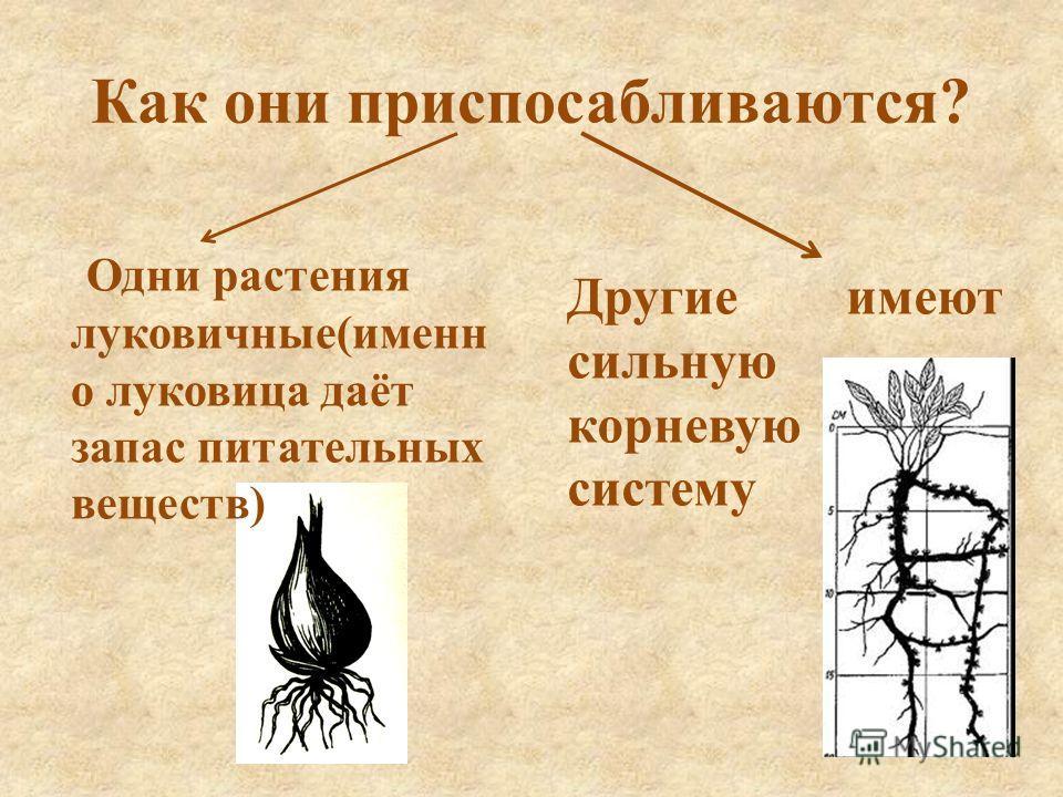 Как они приспосабливаются? Одни растения луковичные(именн о луковица даёт запас питательных веществ) Другие имеют сильную корневую систему