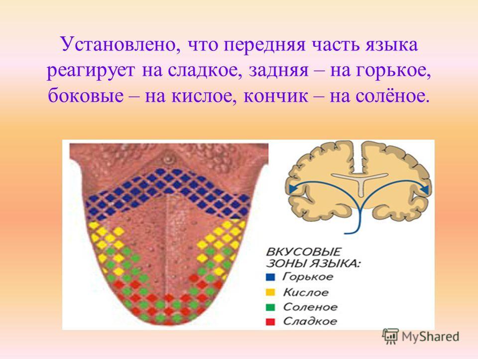 Установлено, что передняя часть языка реагирует на сладкое, задняя – на горькое, боковые – на кислое, кончик – на солёное.