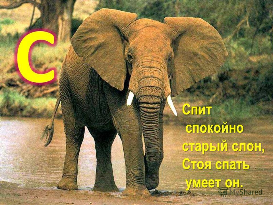 Спит спокойно спокойно старый слон, Стоя спать умеет он. умеет он.
