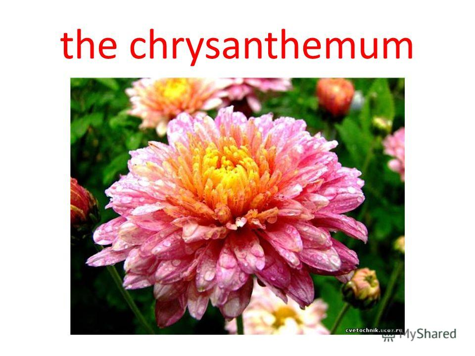 the chrysanthemum