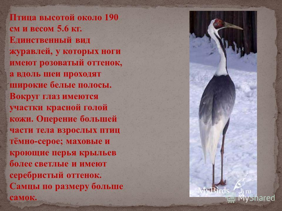 Птица высотой около 190 см и весом 5.6 кг. Единственный вид журавлей, у которых ноги имеют розоватый оттенок, а вдоль шеи проходят широкие белые полосы. Вокруг глаз имеются участки красной голой кожи. Оперение большей части тела взрослых птиц тёмно-с