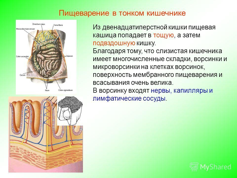 Из двенадцатиперстной кишки пищевая кашица попадает в тощую, а затем подвздошную кишку. Благодаря тому, что слизистая кишечника имеет многочисленные складки, ворсинки и микроворсинки на клетках ворсинок, поверхность мембранного пищеварения и всасыван