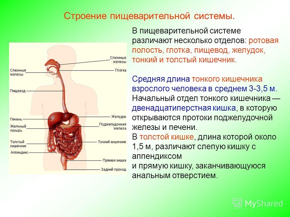 Строение пищеварительной системы. В пищеварительной системе различают несколько отделов: ротовая полость, глотка, пищевод, желудок, тонкий и толстый кишечник. Средняя длина тонкого кишечника взрослого человека в среднем 3-3,5 м. Начальный отдел тонко